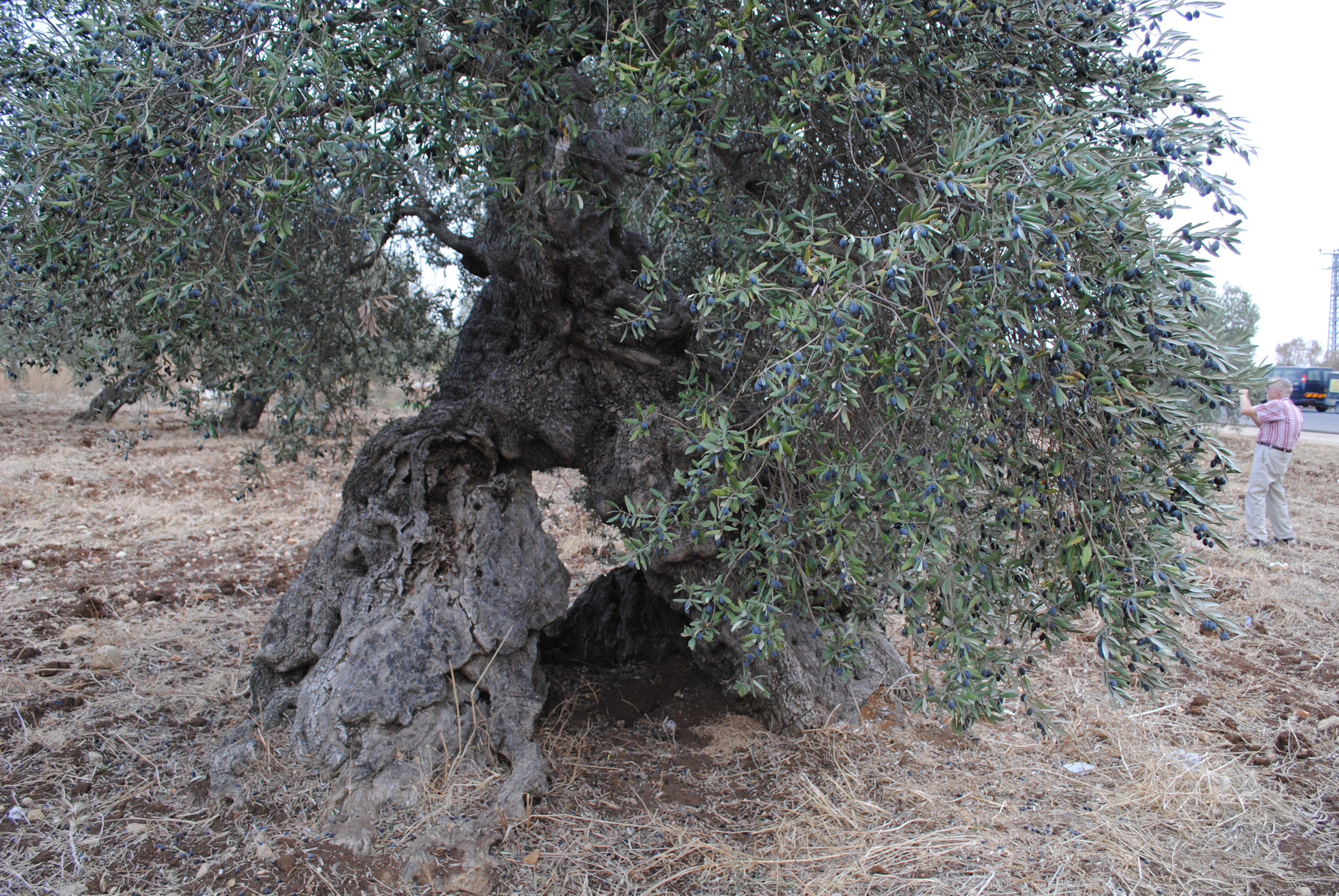 200-year-old-olive-tree