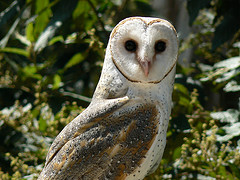 Israel's National Bird Poll: Barn Owl & Lesser Kestrel