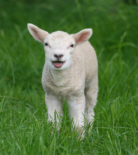 baby lamb in the grass photo