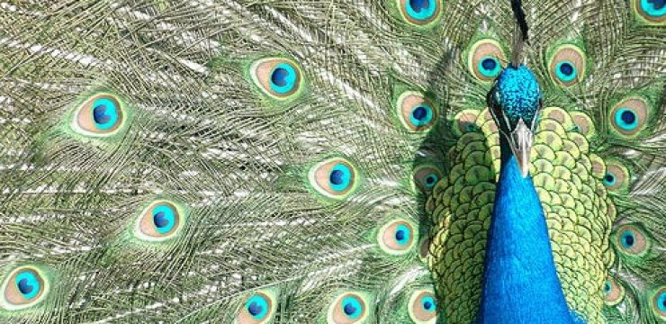 peacock-wings-israel-photo.jpg