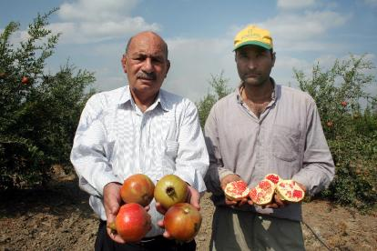 Turkey Rivals Iran as Pomegranate Powerhouse