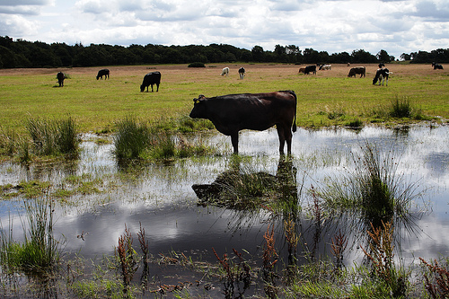 Cow Grazing in Water