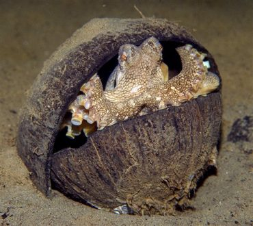 Human Coconut Waste Becomes Perfect Abode for Octopus