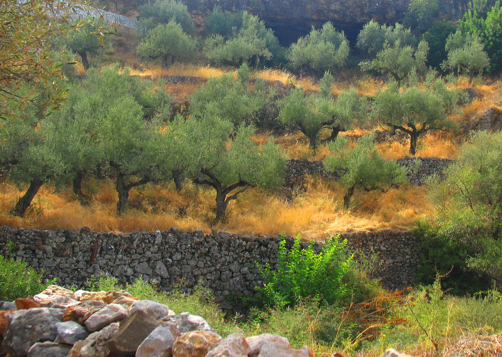 olive trees in greece photo