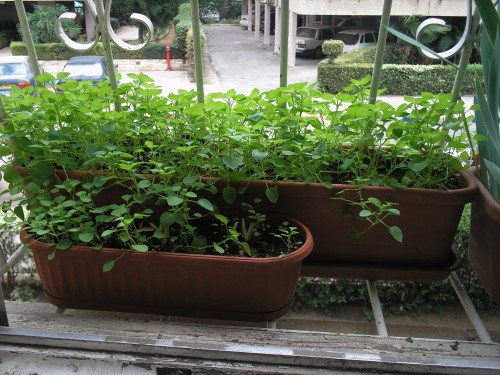 Chickweed Grow At Home Photo