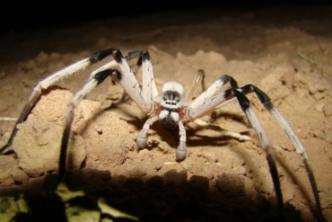 """""""Leggy"""" New Spider Found in the Sands of Samar, the Largest in the Middle East"""