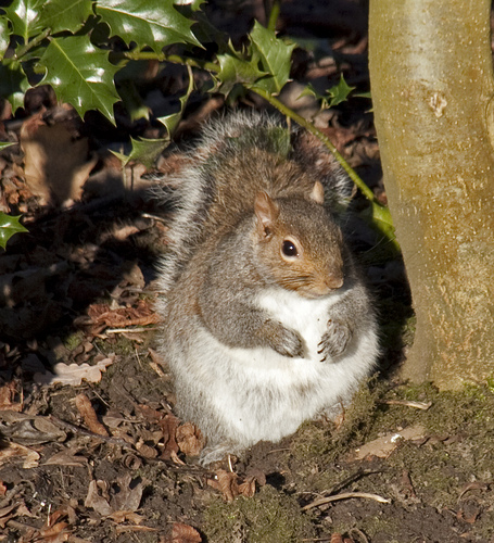 fat squirrel global warming eating photo