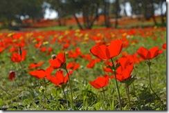 The Most Effective PR Campaign in Israel's History: Protecting Wildflowers