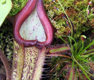 Sticky Liquid in Carnivorous Plant Could be Organic Fungus Fighter in Hospitals