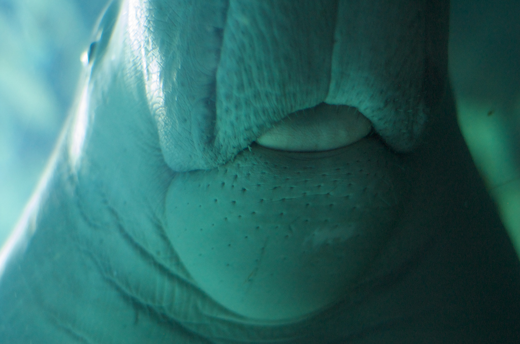 dugong middle east photo