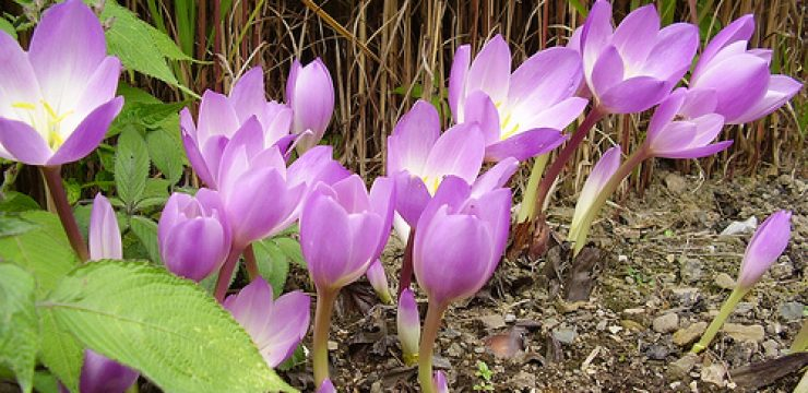 Autumn-crocus-GP.jpg