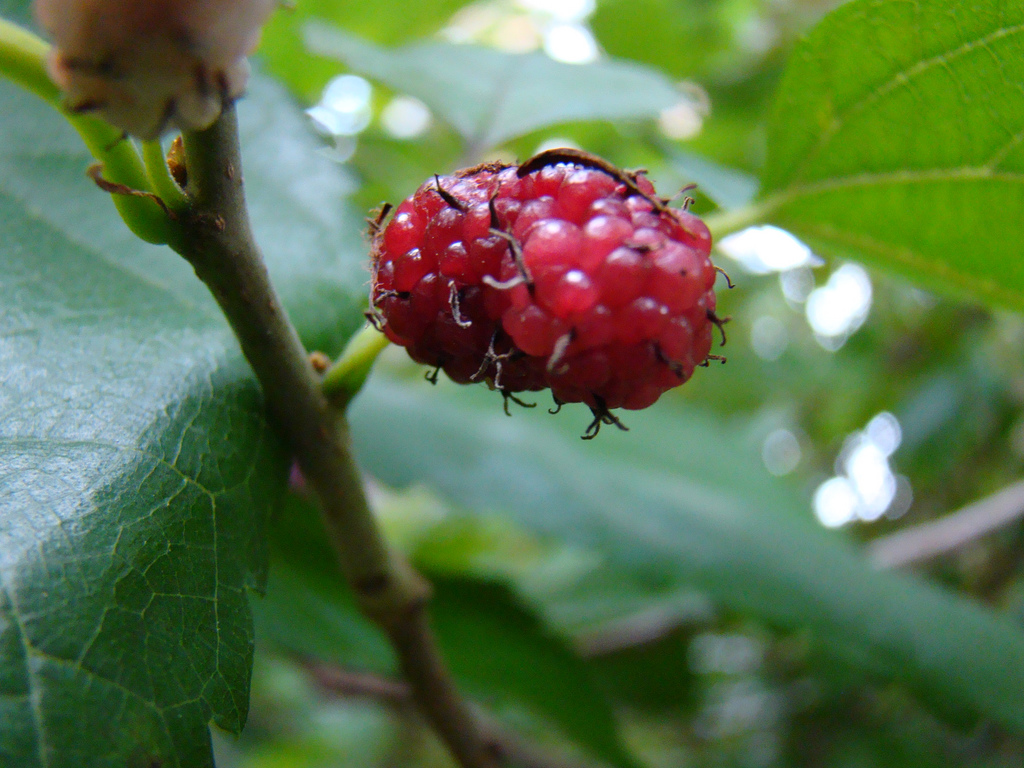 mulberry berry bush china native photo