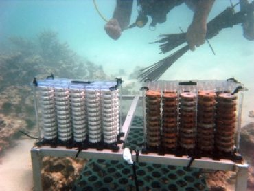 Rebuilding Abu Dhabi's Coral Reefs One Disc at a Time