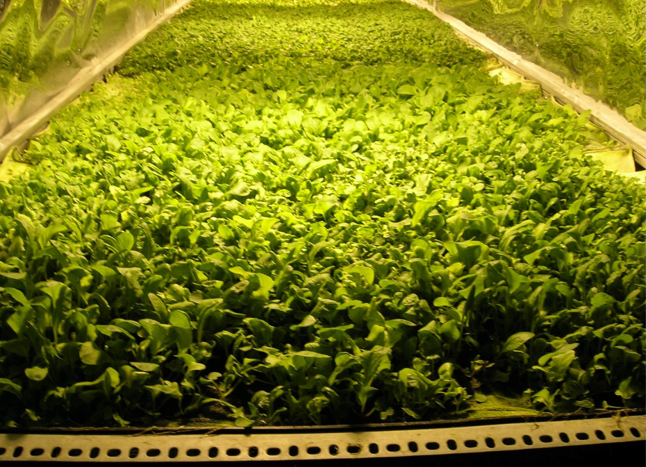 vertical farm arugula salad