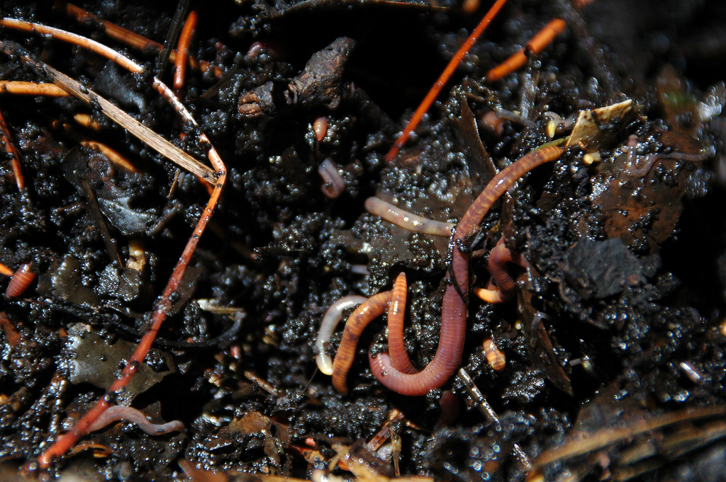earthworm earth worm compost pile