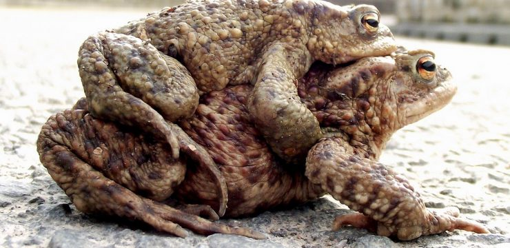 mating-toads-earthquakes.jpg