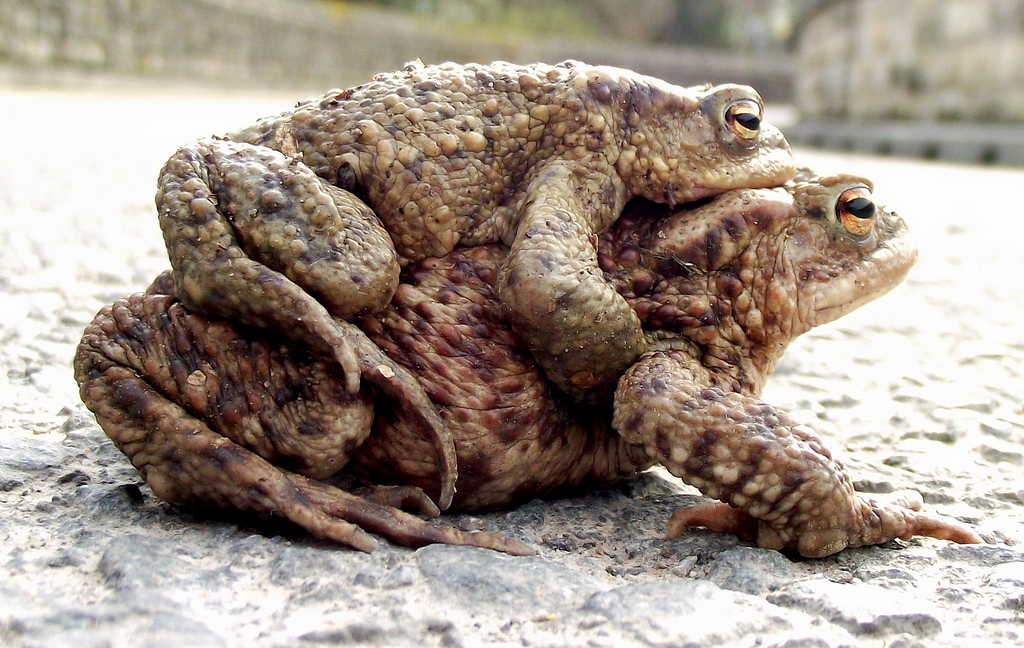mating toads predict earthquakes photo