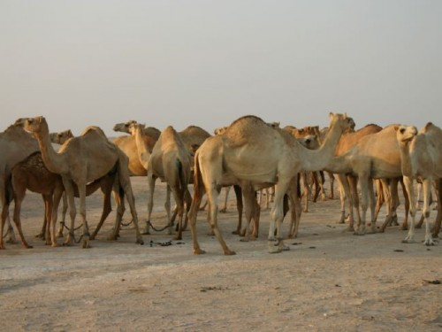 Abu Dhabi Rich Pay Millions For Camels While Arab World Stays Poor
