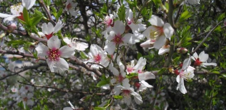Flowering-almond-tree-Tsfat-500x375.jpg