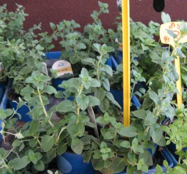 The ABCs of Middle East Spice Medicines, Part IV – Oregano to Rosemary