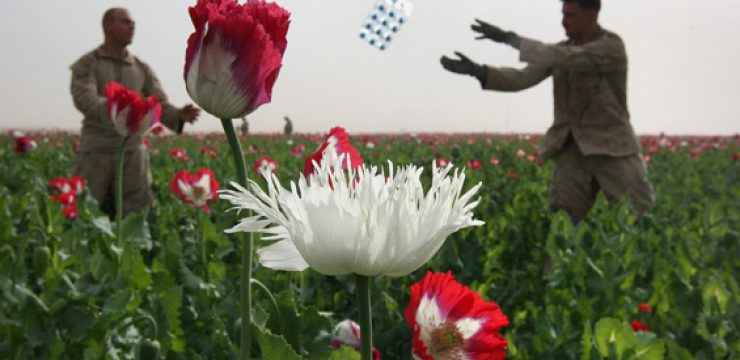 afghanistan-poppy-opium-heroin-photo.jpg