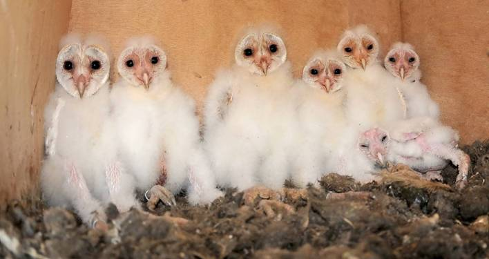 Baby barn owl images - photo#5