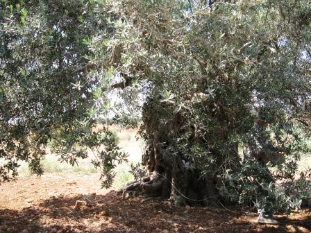 The Marvels Of A 2000 Year Old Olive Tree in Israel