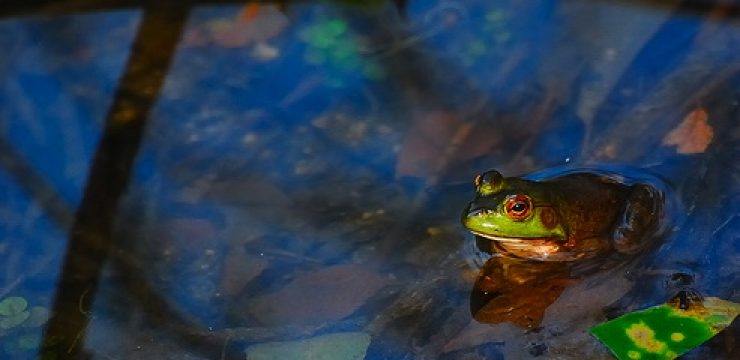 star-david-israel-water-frog3.jpg
