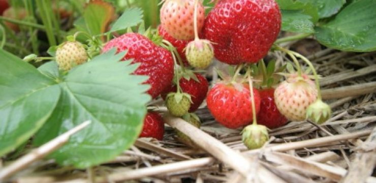 strawberries-vine-field-500x333.jpg