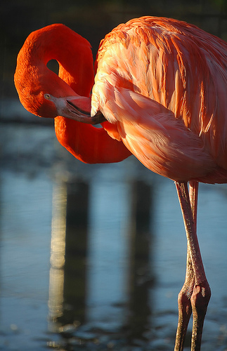 pink-colored-flamingo