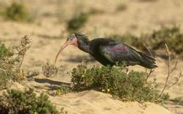 northern-bald-ibis