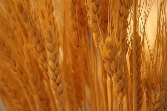 creative-wheat-image