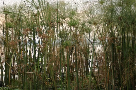 papyrus-plants-morning