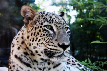 Where Have All The Iranian Leopards Gone?