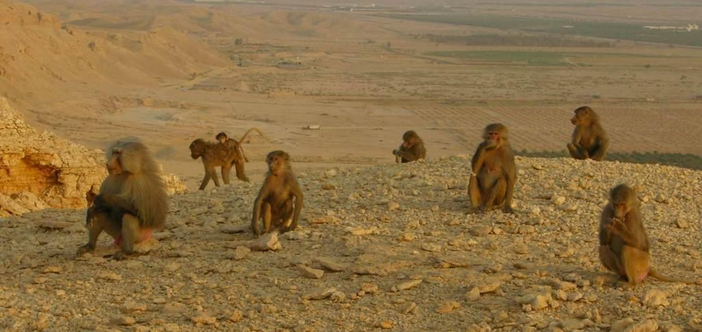 Killer Baboons Running Loose In Saudi Arabia?