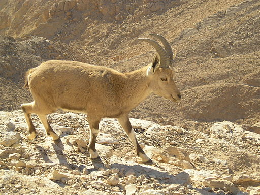 Ibex in the Negev
