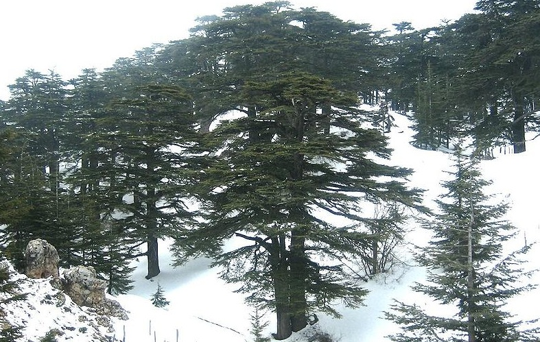ancient cedars in the snow, Cedars of God