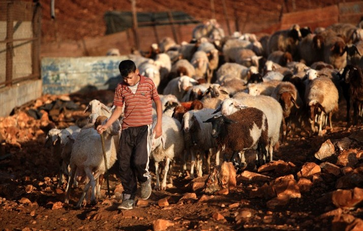 "The ""Golden Sheep"" West Bank Cheese Incident"