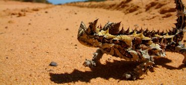 How To Capture Water Like A Thorny Devil