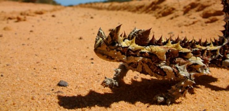 thornydevil_feature.jpg