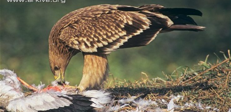 Juvenile-imperial-eagle-feeding-on-prey.jpg