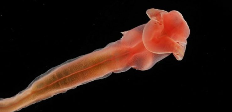 Sea-cucumber-from-2700-feet-deep-Atlantic-O..jpg