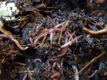 Egypt Turns To Earthworms To Save Its Environment