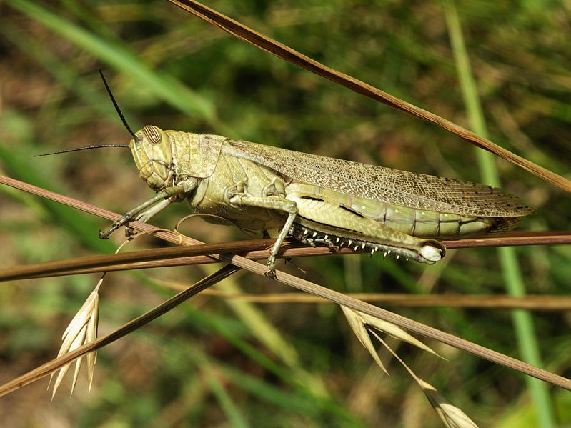 grasshopper locust on branch
