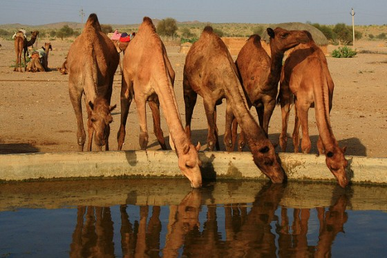 camel-drinking-hole