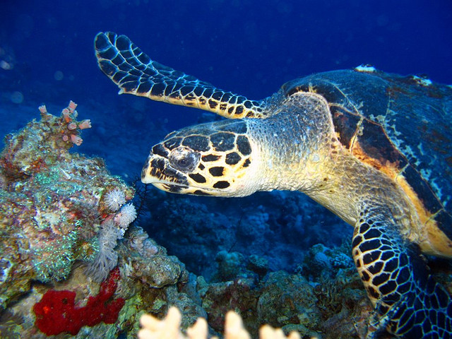 Hawksbill Turtles Travel 20km Per Day