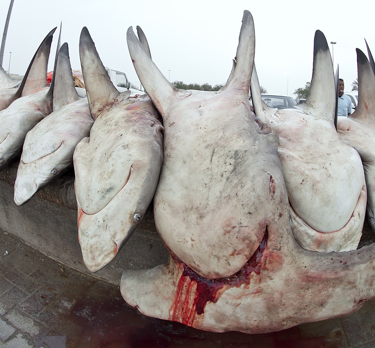 Sharks Under Attack In Middle East