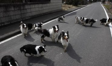 Japanese Risk All to Save Nuclear Zone Strays