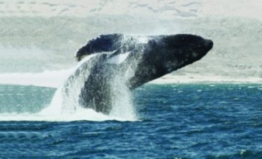New Arabian Humpback Whale Species Located in Oman