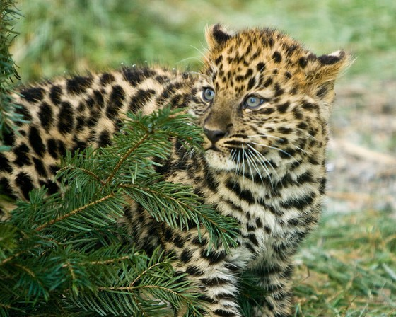 leopard cub, wildlife trafficking, Dubai, Thailand